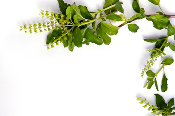 Basil leaf border on white background for decorative graphic res