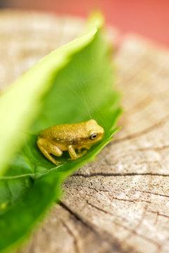 miniture frog in leaf