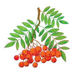 Vector illustration of branch with outline Rowan or Rowanberry, leaves and berry isolated on white. Composition with orange berry. Floral decor with rowan bunch in contour style for autumn design.