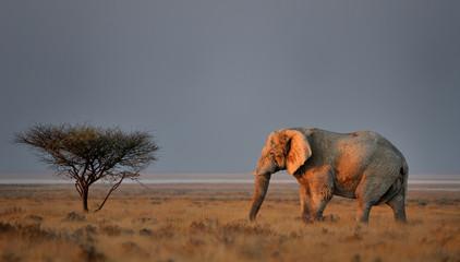 Last sun rays on elephant bull