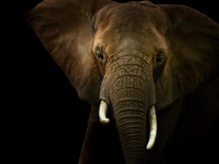 Elephant Against Black Background