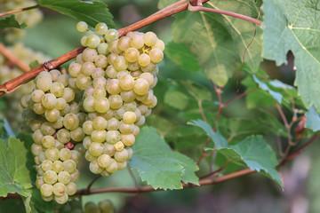 Edle Weinrebe, Traube, Kerner (Vitis vinifera subsp. vinifera)