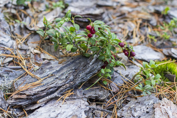 red cranberries background berry among moss and pine bark in the autumn