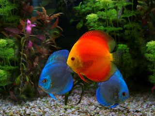 Discus (Symphysodon), multi-colored cichlid in the aquarium, the freshwater fish native to the Amazon River basin