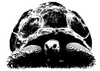 Tortoise illustration on a white background