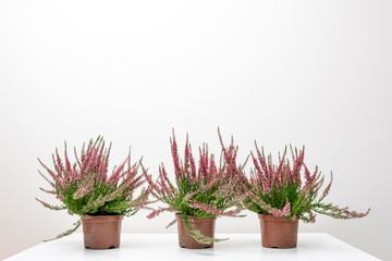 Beautiful heather flowers in pots placed on white table