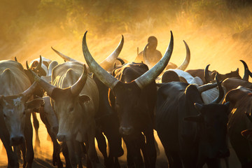 cattle sunset in Africa Wall mural