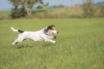 dog runs across the meadow