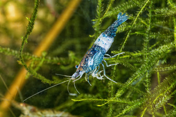 Freshwater shrimp closeup shot in aquarium (genus Neocaridina)