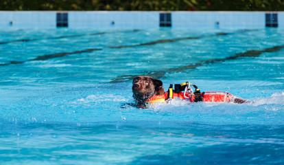 Lifeguard dog in swimming pool.