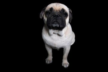 Pug Dog Black background