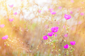 Beautiful pink poppies in grassy field with sunlight  streaming