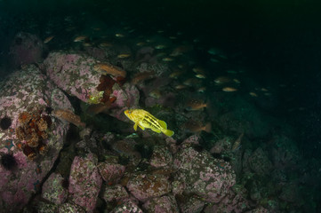 Threestripe rockfish in the school of rockfishes