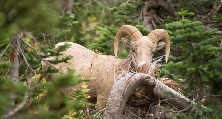 Healthy Male Ram Bighorn Sheep Wild Animal Montana Wildlife
