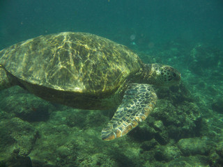 Loggerhead Sea Turtle Swimming Along Underwater