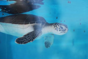 Adorable Baby Sea Turtle Swimming Underwater
