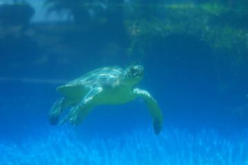 Sea Turtle Moving Underwater