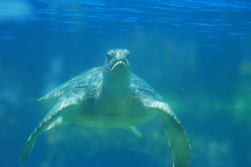 Face of a Sea Turtle Underwater