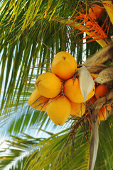 fresh bright orange coconuts on a palm tree