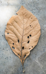 Brown leaf beauty porous on cement ground