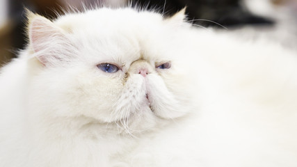 portrait of young beautiful white persian cat