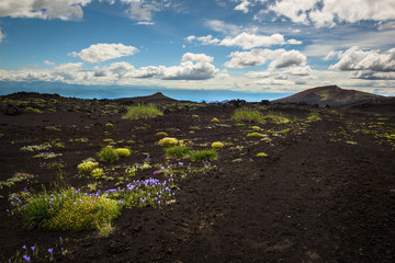 Flowers in a desert-like landscape on the slopes of Tolbachik Volcano, Kamchatka, Russia