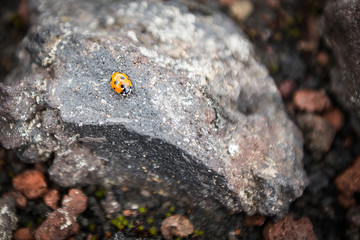 Ladybug on a rock on the slopes of Tolbachik Volcano, Kamchatka, Russia