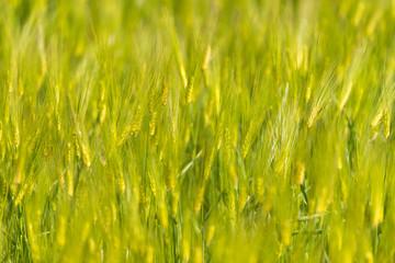 Yellow rice field close up