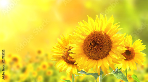 Fototapete Sunflowers on blurred sunny background