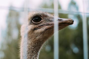 Ostrich head behind bars on the ostrich farm.