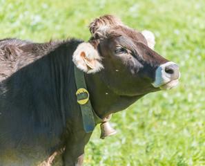 Kuh mit Kuhglocke auf einer grünen Alm in den Bergen