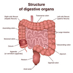 digestive tract image intestine
