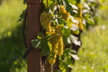 Gelbe Weinreben in der Abendsonne