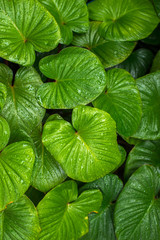 Water drops on fresh green leaves background