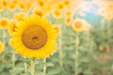 Sun flower the sign of hope for your success background.