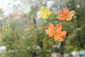 warm look out the window for autumn/ Maple leaves stuck to the window that gets wet from rain drops