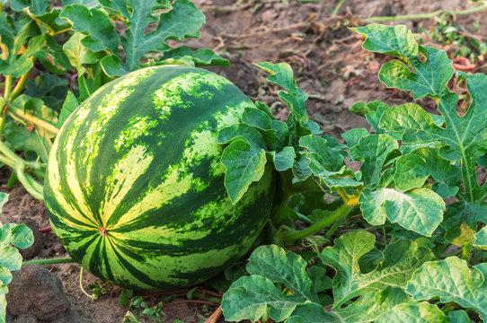 watermelon on plantation