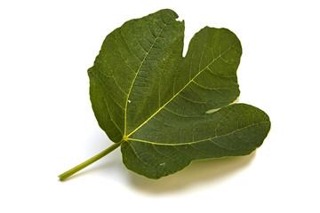 fig tree leaf