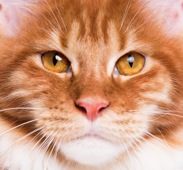 Portrait of domestic red Maine Coon kitten - 8 months old. Extreme close-up studio shot beautiful kitty. Curious young orange striped cat looking at camera. Focus on eyes.
