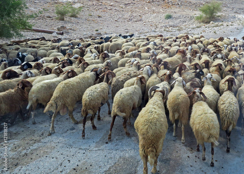 a ram in a flock of The number of lambs a ram sires in his lifetime determines the return on his  purchase price, with financial figures showing that producers could reduce costs  by.