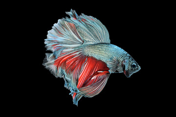 The siamese fighting fish, betta isolated on black background