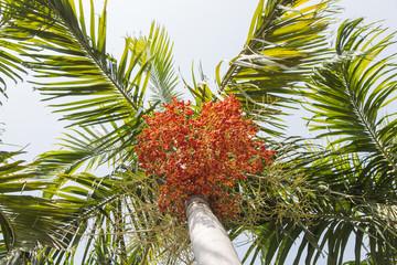 Betel nut palm or Betel Nuts on tree.
