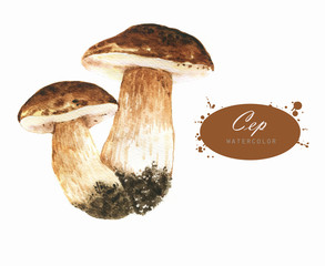 Hand-drawn watercolor illustrations of the ceps. Botanical mushrooms drawing isolated on the white background.