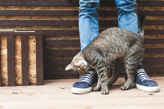 Striped gray cat caressing at male legs