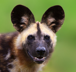 Fototapete - Wild dog staring straight into the camera. Lycaon pictus