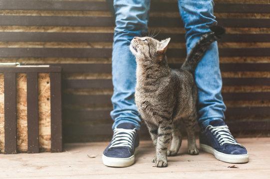 Striped gray cat rubbing against male legs