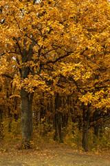 autumn oak-tree leaves