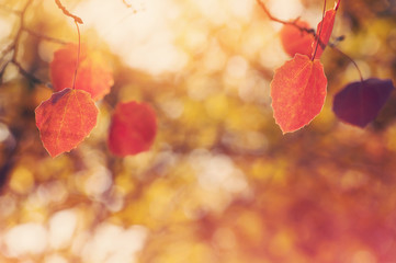 Autumn background with red leaves of aspen. Vintage color.