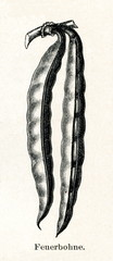 Runner bean (Phaseolus coccineus) (from Meyers Lexikon, 1895, 7/288/289)