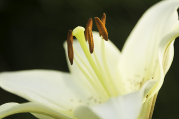 Beautiful white lilies blossomed - of green background
